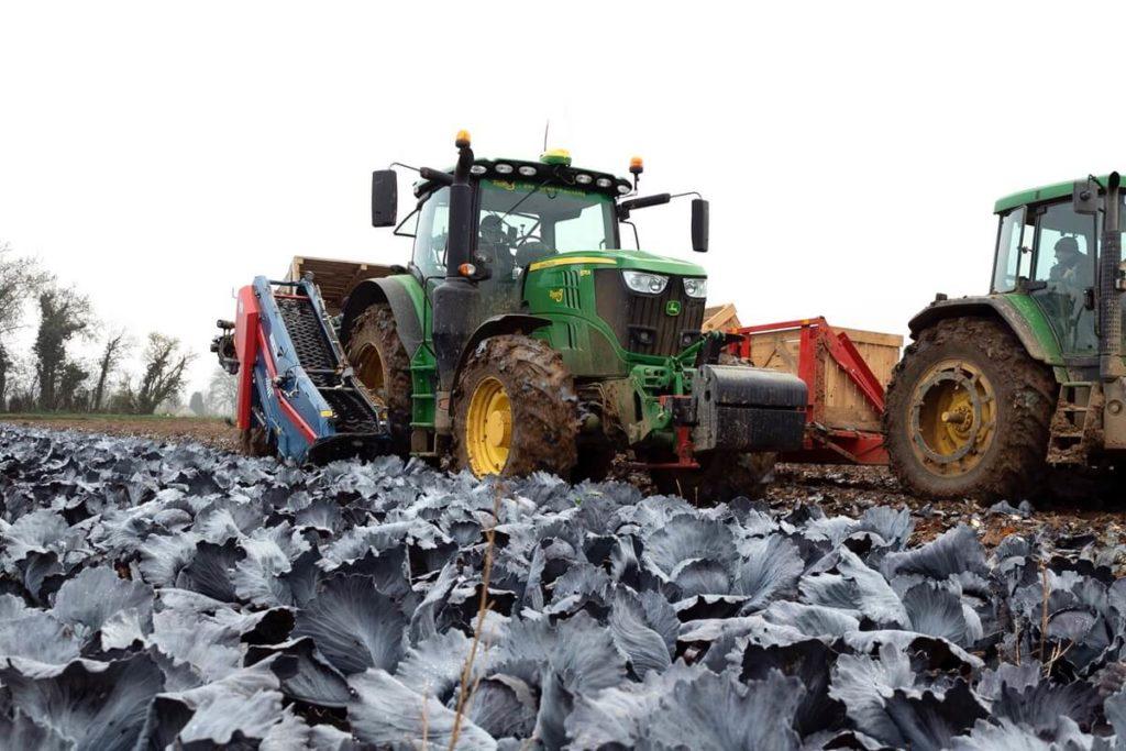 Récolte de choux en Picardie à Framerville-Rainecourt