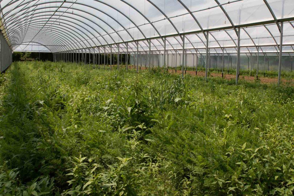 Les carottes poussent sans azote chez Pauline Dreumont, maraîchère bio locale installée à Grémévillers (60)
