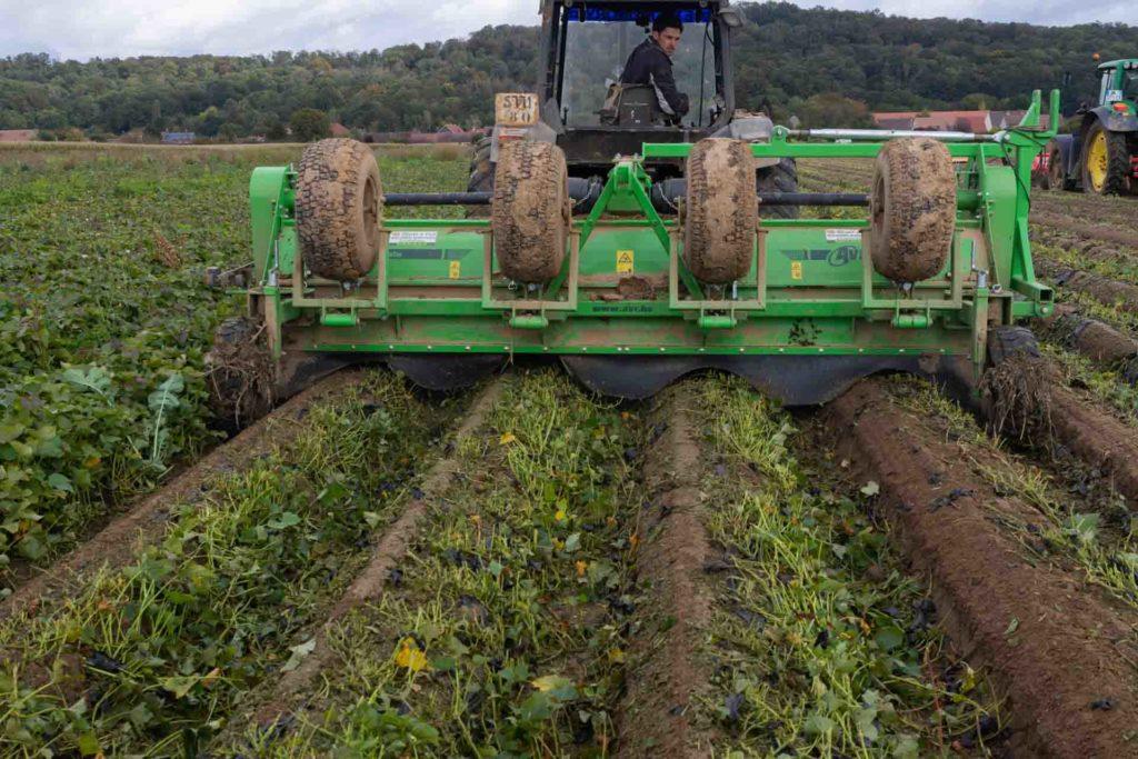 Dans l'Oise, à longueil sainte marie, à la ferme du Grand férré; Nicolas coupe la partie aérienne des plants de patate douce pour que Vincent puisse passer derrière pour les récolter à l'aide d'une machide développée en interne