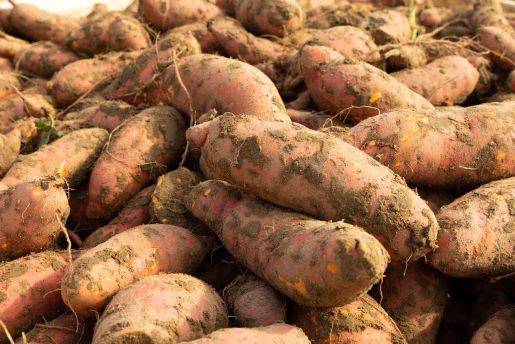 LEs patates douces de Vincent et de Nicolas à la ferme du Grand férré  dans l'Oise, à longueil sainte marie.