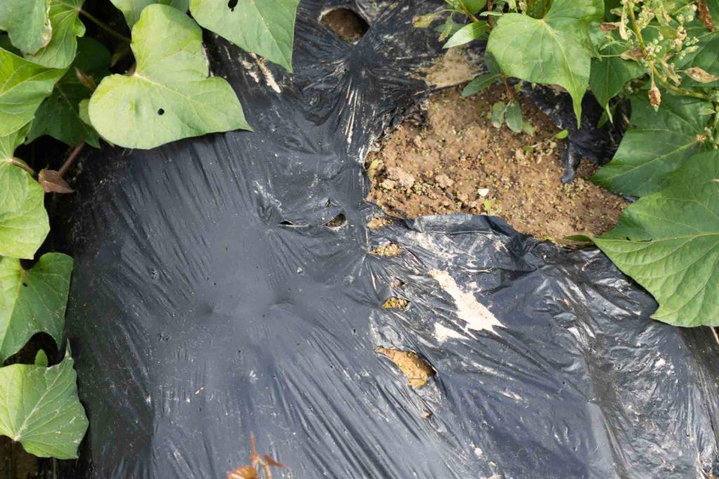 A longueil sainte marie, dans l'oise à la ferme du Grand férré; Les baches utilisées pour la culture des patates douces ne sont pas en plastique mais en matière végétale 100% biodégradables