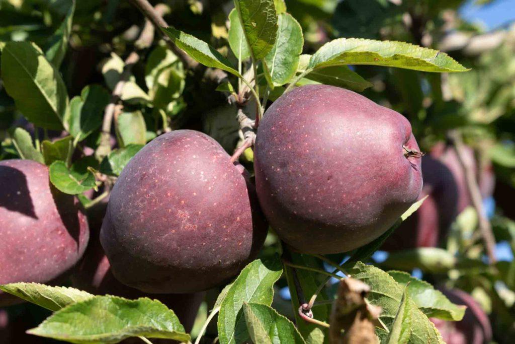 Les pommes et poires locales d'Alexandre